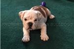Picture of Purebred Male English Bulldog Puppy
