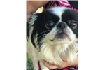 Picture of Japanese Chin