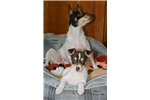Picture of Rocco - AKC Rat Terrier