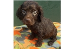 Female Puppy! | Puppy at 10 weeks of age for sale
