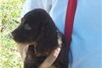 Boykin Spaniel for sale