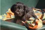 Boykin Spaniels for sale