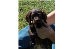 Boykin Spaniel puppy - ready to go! | Puppy at 19 weeks of age for sale