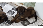 Tawny male | Puppy at 9 weeks of age for sale