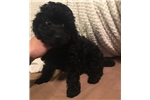 Picture of Toy poodle male