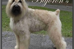 Picture of Beautiful AKC champion blood lines, 5 star health