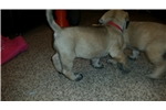 Picture of Presenting Rose, an AKC English Mastiff puppy!
