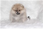 Picture of Beautiful Pomeranian boy for sale!!