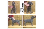 Picture of Blue Great Dane male