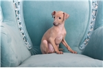 Picture of Gorgeous Italian Greyhound
