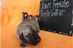 Picture of AKC Great Dane Fawn Female puppy