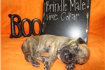 Picture of AKC Great Dane Brindle Puppy