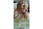 Picture of PROVEN Miniature Golden Doodle 17