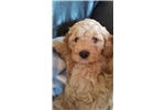 Picture of Proven Miniature Golden Doodle Puppy 17
