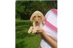 Picture of Daisy-Labrador Puppy