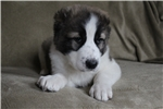 Picture of a Central Asian Ovtcharka Puppy