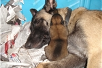 Belgian Malinois | Puppy at 6 weeks of age for sale