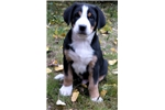Picture of Puppy Greater Swiss Mountain Dog
