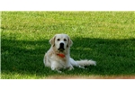 Picture of AKC English Creme Golden Retriever Male Puppy