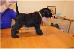 Picture of Female Miniature Schnauzer Puppy