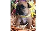 Picture of ACK French Bulldog Puppy