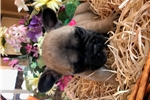 Picture of AKC Female French Bulldog Puppy