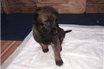 Picture of Belgian Malinois Puppies