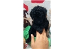 Picture of * AKC Purebred Toy Poodle_Rocky_ Shipping Included