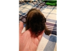 Picture of AKC ENGLISH MASTIFF PUPPIES FOR SALE