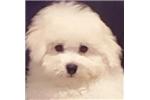 Picture of Bichon Frise