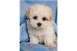 Picture of maltipoo 20weeks only 1lb $850