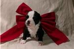 Picture of Suzie ~ Olde English Bulldogge,IOEBA