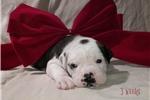 Picture of Lulu ~ Olde English Bulldogge,IOEBA