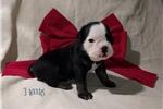 Picture of Brutis ~ Olde English Bulldogge,IOEBA