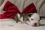 Picture of Lil Clifford ~ Olde English Bulldogge,IOEBA