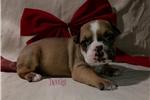 Picture of Fawn ~ Olde English Bulldogge,IOEBA