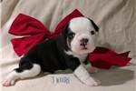 Picture of Brownie ~ Olde English Bulldogge,IOEBA