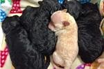 Picture of CKC Registered Poodles