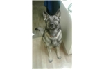 Picture of AKC Registered Silver Sable German Shepherd