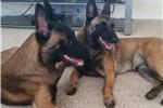Picture of AKC Belgian Malinois puppies - taking interest