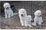 Picture of AKC Male Komondor Puppy