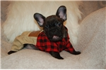 Picture of French Bulldog Puppy