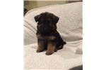 Picture of German Shepherd Puppy