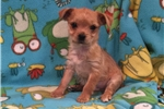 Picture of Teacup Chorkie Puppy
