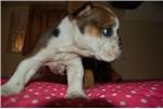 Picture of AKC Female English Bulldog