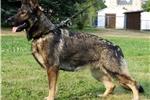 Picture of 100% DDR / East German Import German Shepherd Pupp