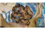Picture of Fawn Great Dane puppies for sale