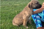 Picture of Wolfhound Puppies For Sale