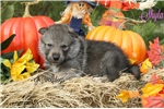 Picture of Timber Wolf Hybrid Female