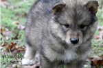 Picture of Timber Wolf Hybrid Sable Male